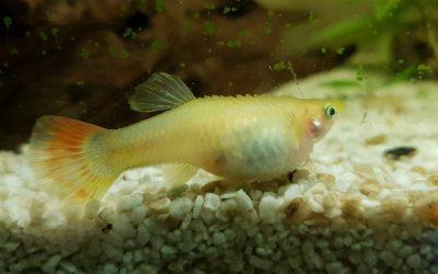 Idropisia nei pesci