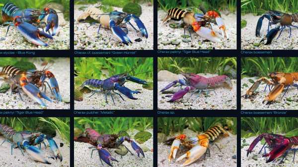 "Poster gamberi ""Crayfish Papua Phingstar"""