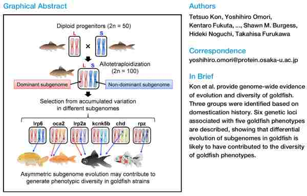 The Genetic Basis of Morphological Diversity in Domesticated Goldfish