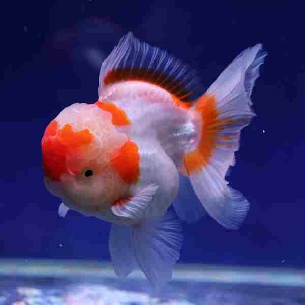 Pesce rosso, consigli..